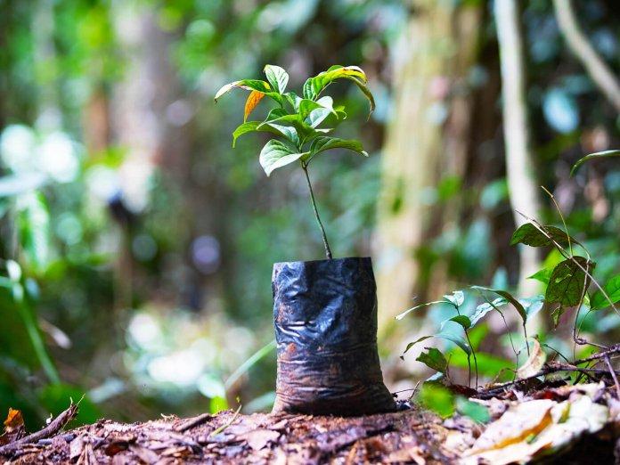 Taylor Ebony Project 1500 trees